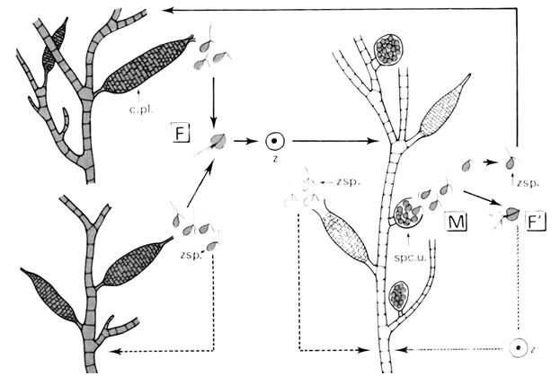 Ectocarpus siliculosus - Algues