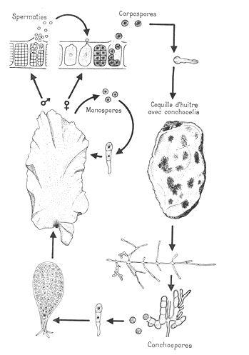 Porphyra umbilicalis - algues rouges