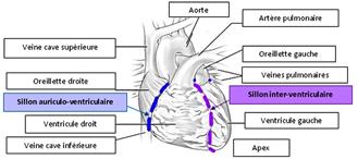 Anatomie externe du cœur -Cardiologie