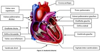 Anatomie interne du cœur-Cardiologie