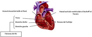 Tissu nodal - Cardiologie