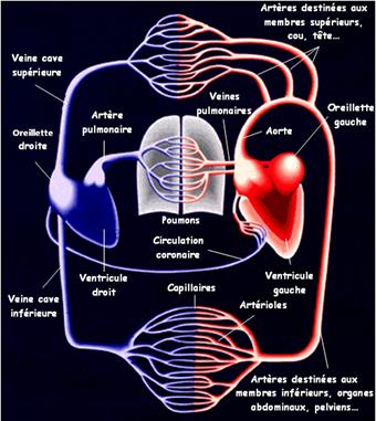 Physiologie générale - Cardiologie